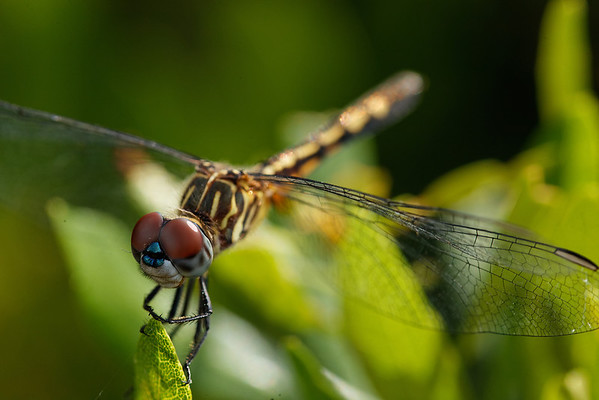 Dragonfly - Stops on a leaf