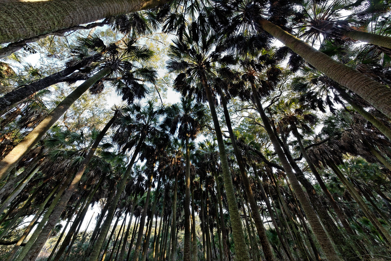 Cathedral of Palms - A virgin stand of sabal palms reaches skyward