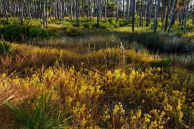 Seaside Goldenrod - In full bloom in the meadow