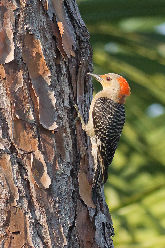 Red-bellied Woodpecker - Searches for food