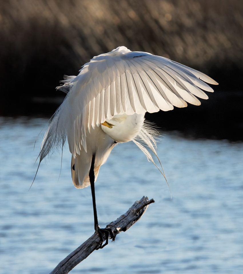 Great Egret - Preens its wings near the river