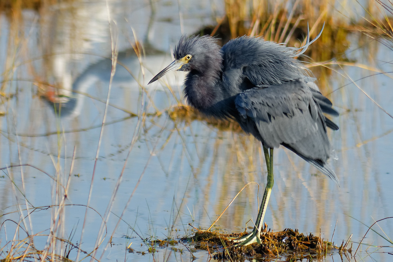 Little Blue Heron - Ruffles its feathers