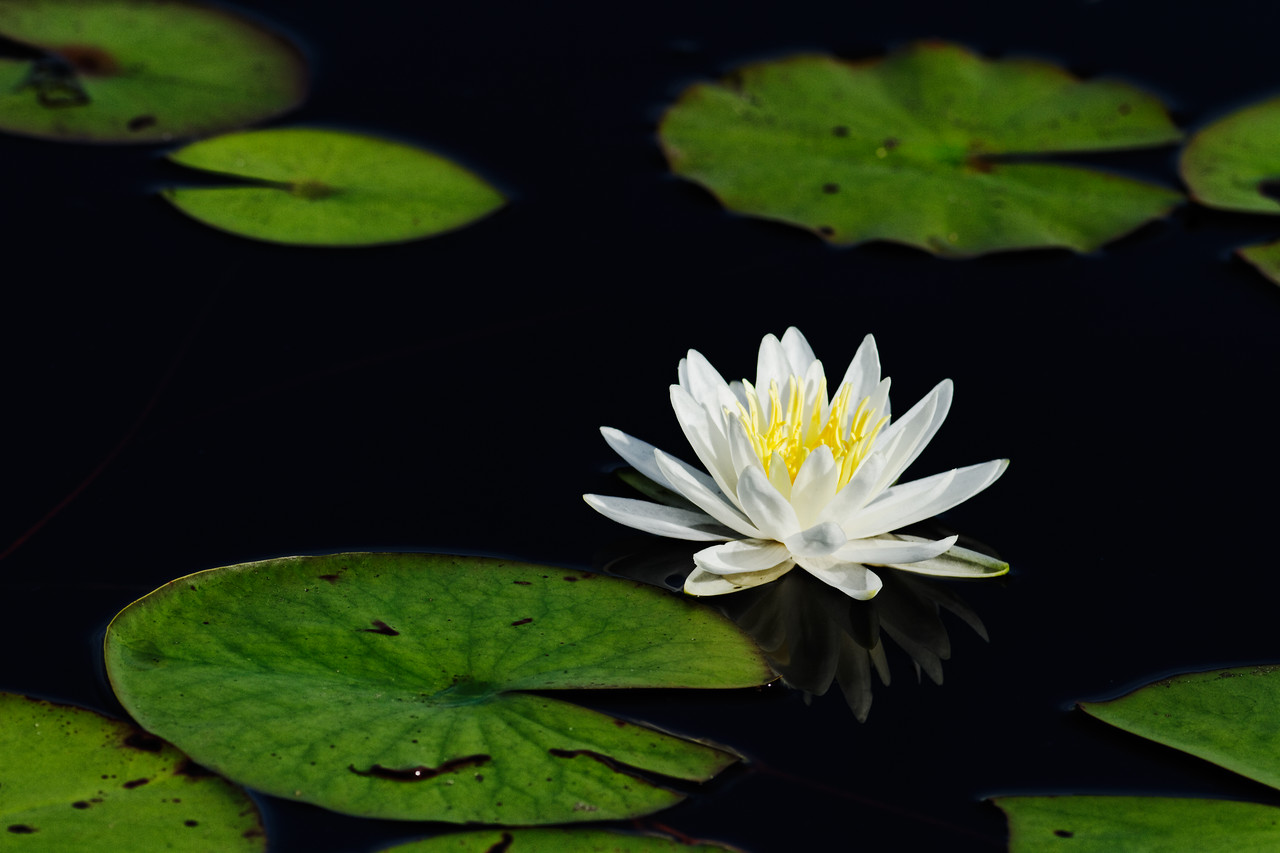 Water Lily - Reflects on the calm surface of the water