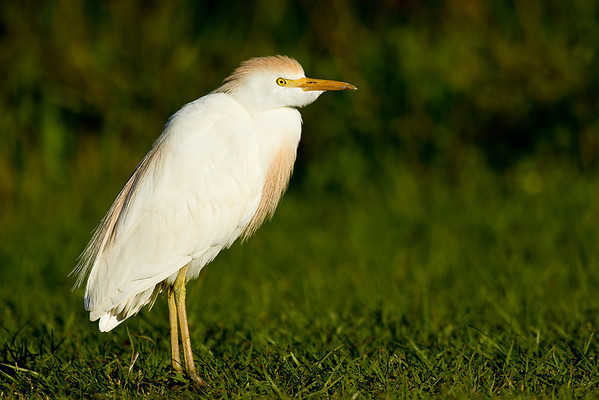 Cattle Egret - Walks in the grass