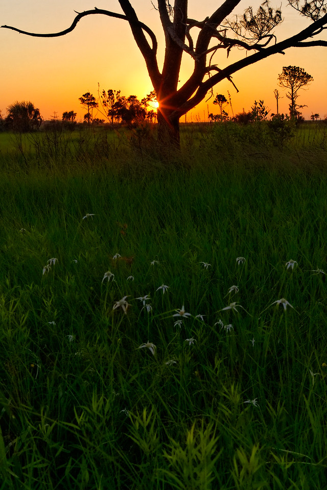 Twisted Tree and White-topped Sedge - Flowers dot the grasslands during sunrise