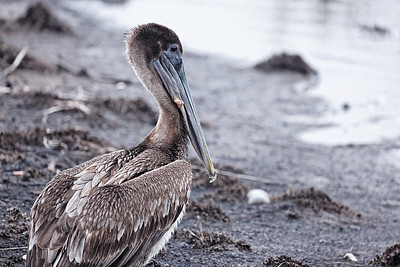 Brown Pelican - Relaxes during a migration stopover
