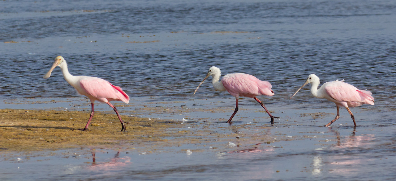 Roseate Spoonbills - A group walks through the shallows of Lighthouse Pool