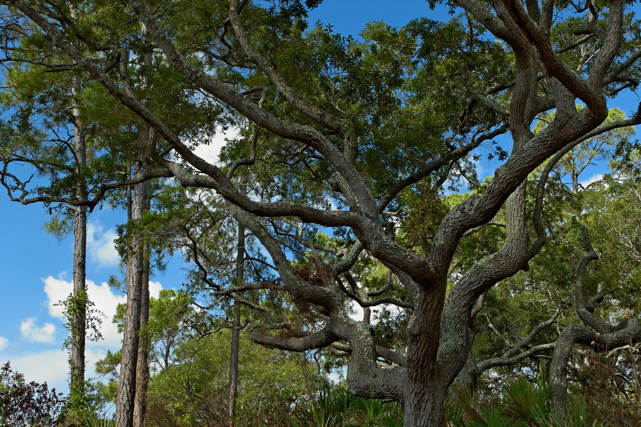 Scrub Oak - A large tree grows on a sand ridge