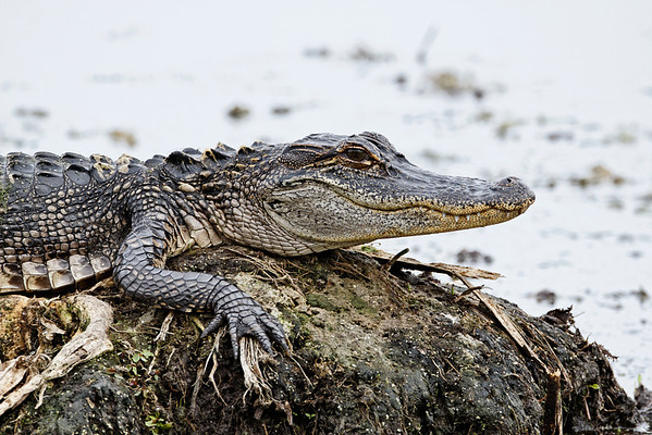 American Alligator - Rests on a mud bar
