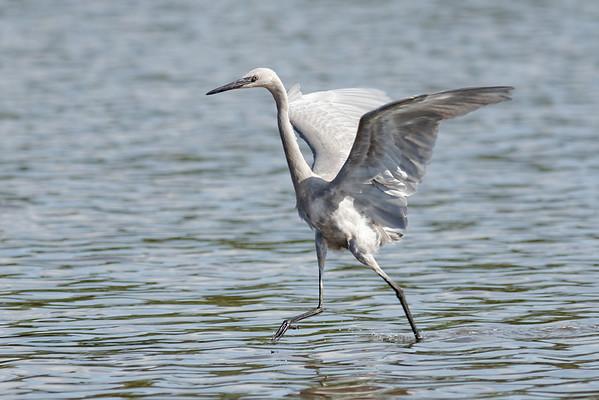 Reddish Egret (juvenile) - Dances to hunt for food