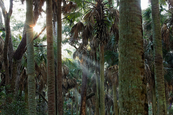 "Sunbeams - Sunlight streams through the ancient  ""Cathedral of Palms"""