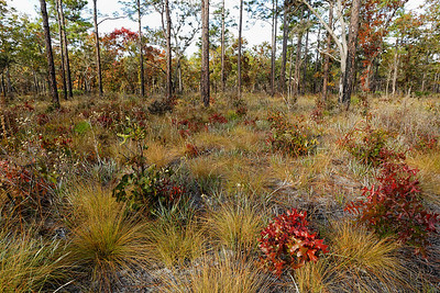 Flatwoods in Winter - Dried grasses are dotted with oak sprouts