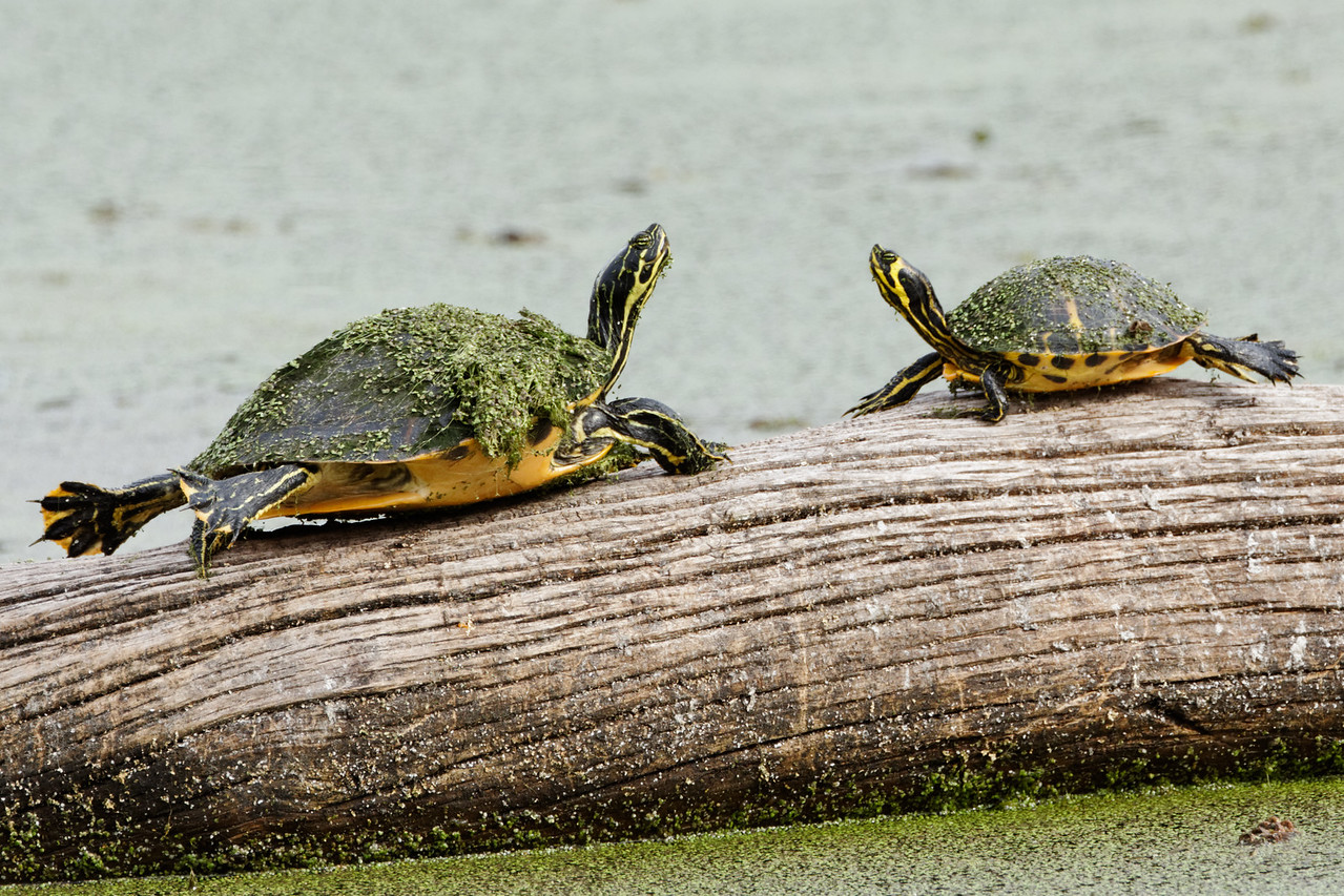 Suwannee Cooters - A pair of the turtles warm up on a log