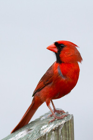 Cardinal - Poses on a fence post
