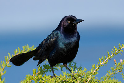 Common Grackle - Perches to sing by the Gulf
