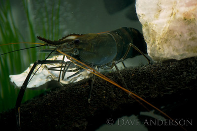 Freshwater lobster image taken in friend's fish tank, using off-camera strobe with umbrella and unrecorded number of diopter rings (1993)