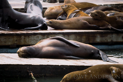 San Francisco Fishermans Wharf sea lion adult napping (1993)