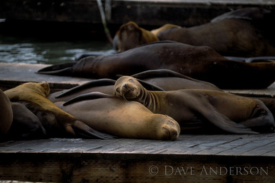 San Francisco Fishermans Wharf sea lions napping (1993)