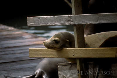 San Francisco Fishermans Wharf sea lion youngster (1993)