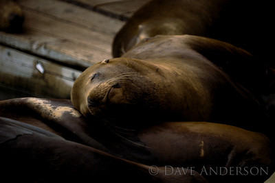 San Francisco Fishermans Wharf sea lion napping (1993)