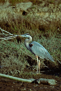 Blue Heron, Shoreline Park, South San Francisco Bay Area (1993)