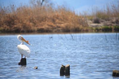 117/365 Utah Lake Pelican  http://365.greatproj.com/2011/04/117365-utah-lake-pelican/