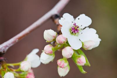 103/365 First to Blossom  http://365.greatproj.com/2011/04/103365-first-to-blossom/