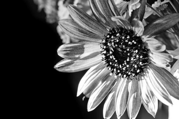 241/365 Flower B&W