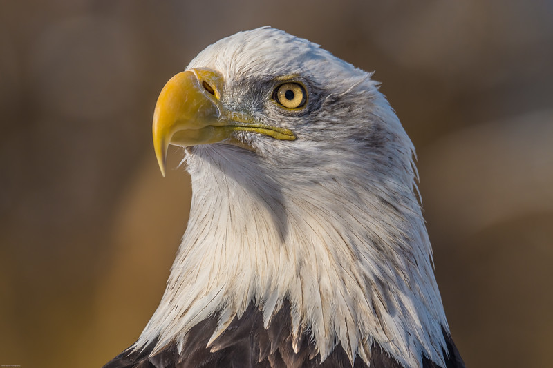 tsá łigai - bald eagle