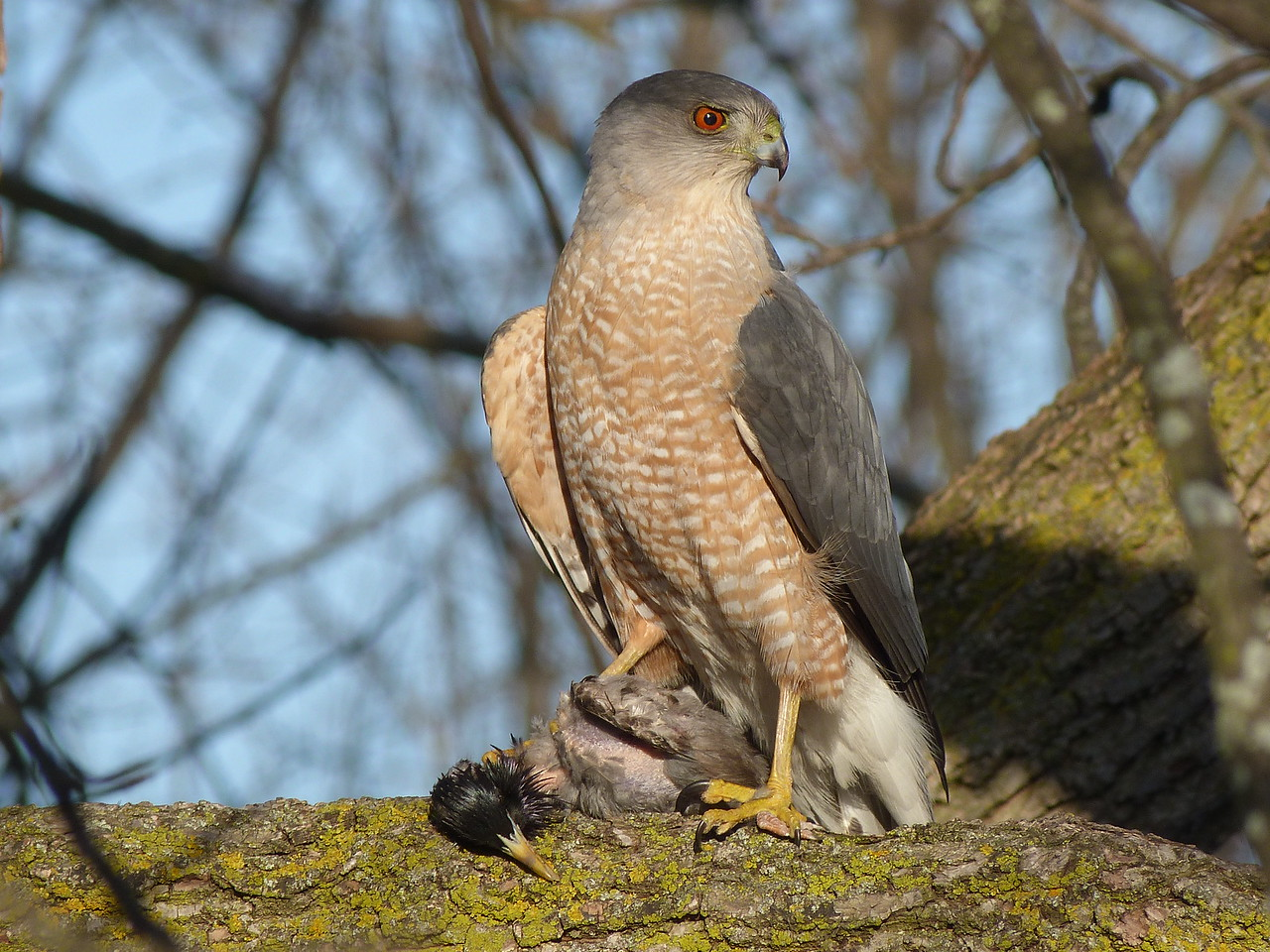 Cooper's hawk by Andrea Chappell