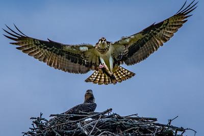 Osprey by Jean Lefebvre
