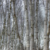SILVER BIRCH by Pat Brown