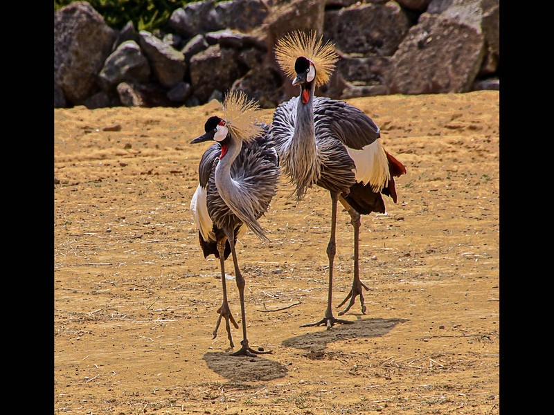 Secretary Birds by Peter Johnson