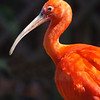 Scarlet Ibis by Bryn Gibbons