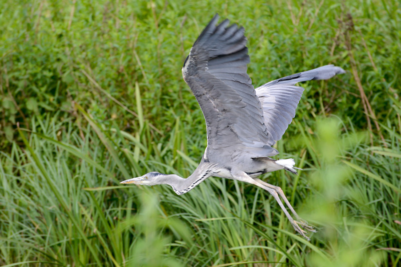 Grey Heron by John Allen