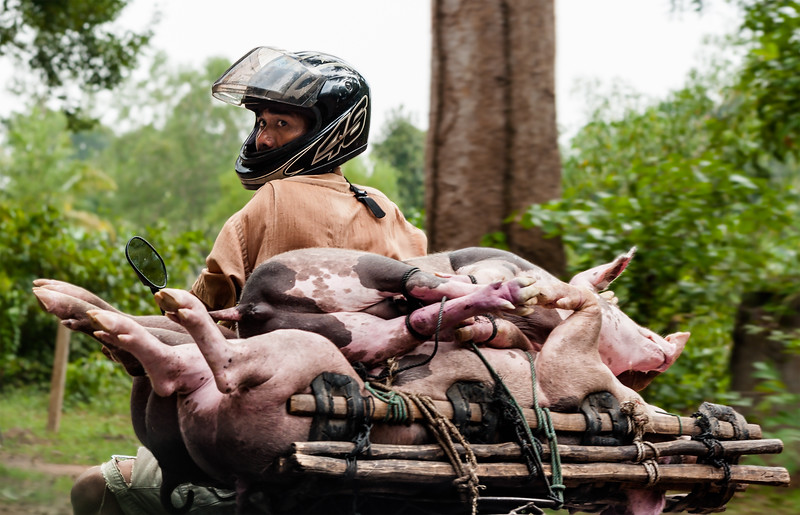 The 3-Pig Moped Carry