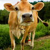 The milk produced by about 40 Jersey cows at the farm are rich, tasty and sweet. Each cow consumes about 40 pounds of hay daily, and on average produces 6 gallons of milk per day, which translates to about 6 pounds of cheese.