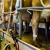 The milking process takes place everyday at 5:30AM and 4:00PM for the 40 or so milk producing cows.