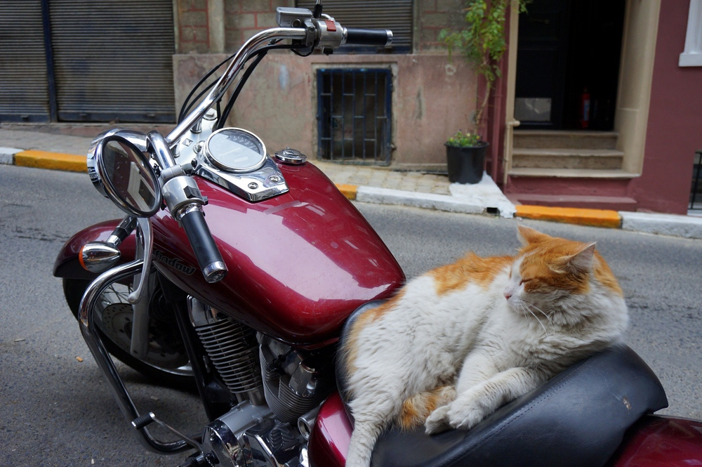 Well, why not? This easy riding cat was making itself quite at home on this motorcycle.