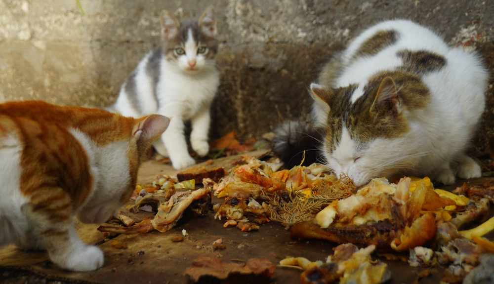 A group of cats feed on a generous bounty of food left just outside of the Blue Mosque in Istanbul, Turkey.  If you look closely you