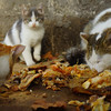 A group of cats feed on a generous bounty of food left just outside of the Blue Mosque in Istanbul, Turkey.  If you look closely you'll notice a timid kitten with cut eyes in the background.