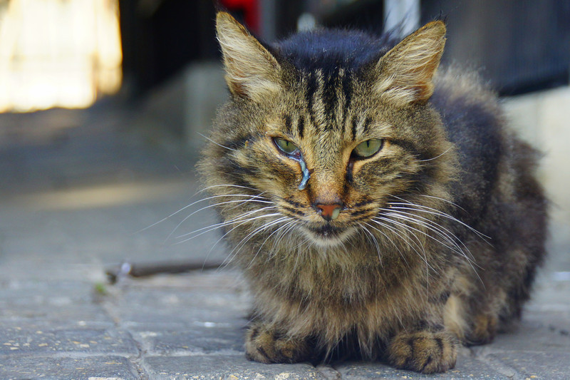 Unfortunately not all of the cats look completely healthy.  This particular cat is clearly having some health issues as noticed by its runny eye and snotty nose.