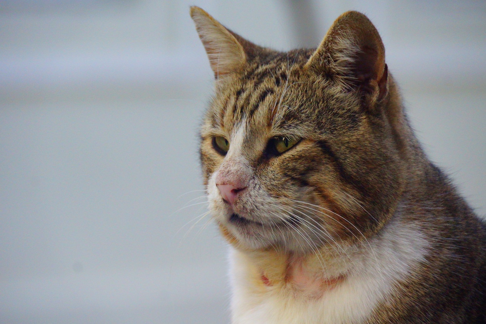 This cat reminded me a scrapper I used to know when I lived on Vancouver Island. You can notice the scratch marks under its face and the feral look in its eye.