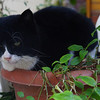 A potted cat.  I spotted this particular cat on more than one occasion - each and every time - in this same pot.