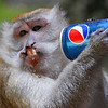Monkey drinking Pepsi outside of the Batu Caves, Malaysia.
