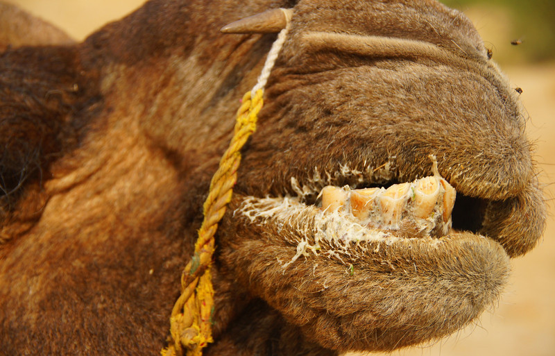 A close-up shot of a camel`s disgusting teeth - Thar Desert, India.