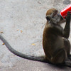 Monkey drinking coke outside of the Batu Caves,Malaysia.
