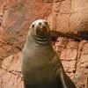 "An animal striking a funny pose - as if saying ""What are you looking at?"" - Islas Ballestas, Peru"