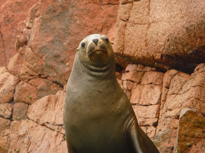 "An animal striking a funny pose - as if saying ""What are you looking at?"" - Islas Ballestas, Peru"