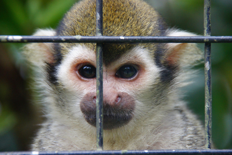 A monkey stares intently as if it wants to escape the zoo - Taipei Zoo, Taiwan.